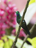 Green-crowned Brilliant Hummingbird. Perched Green-crowned Brilliant Hummingbird Stock Images