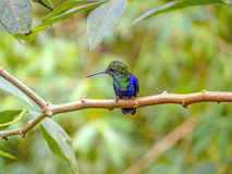 Green-crowned Brilliant hummingbird. Perching on branch, Ecuador Royalty Free Stock Images