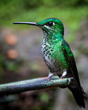 Green-crowned brilliant hummingbird sitting. Monteverde Costa Rica Royalty Free Stock Photography