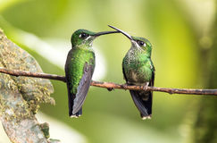 Green-crowned Brilliant hummingbirds Heliodoxa jacula perching on branch,Ecuador. Two competing Green-crowned Brilliant hummingbirds sitting close on a branch Royalty Free Stock Photo