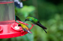 Green crowned hummingbird feeding Royalty Free Stock Photography