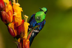 Green-crowned Woodnymph. Perched on flowers,  Ecuador Royalty Free Stock Photos