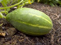 Green cucumber. In a patch royalty free stock photography