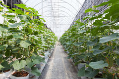 Green cucumber field Stock Images