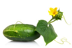Green cucumber with leaves and flower. Isolated on white Royalty Free Stock Photography