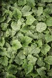 Green Cucumber Leaves Stock Image