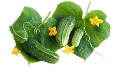 Green cucumber with leaves isolated on white Royalty Free Stock Photo