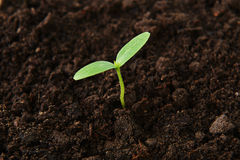 Green cucumber seedling. Small green cucumber seedling in  growing Royalty Free Stock Photo