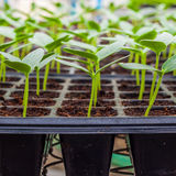 Green Cucumber seedling on tray Royalty Free Stock Image