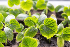 Green Cucumber seedling on tray. Stock Photo