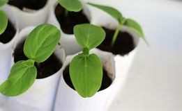 Green cucumber sprouts in paper cups stock images