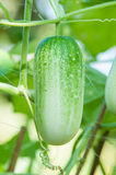 Green cucumber on tree. In the garden stock photos