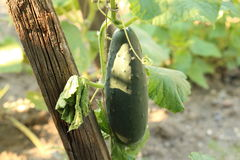 Green cucumber. Young cucumbers in the garden tied to a wooden frame Royalty Free Stock Images