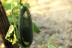 Green cucumber. Young cucumbers in the garden tied to a wooden frame Royalty Free Stock Photos