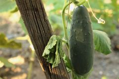Green cucumber. Young cucumbers in the garden tied to a wooden frame Stock Image