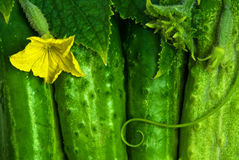 Green cucumbers. Hang on a green branch near to yellow colors Stock Photo