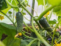 Green cucumbers grows on the bed in the greenhouse royalty free stock photo