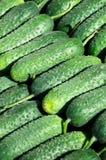 Green cucumbers. Pile of fresh green cucumbers Stock Photography