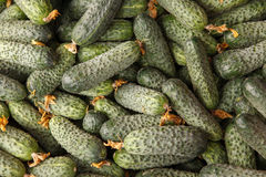 Green cucumbers Royalty Free Stock Image