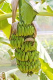 Green cultivate bananas on tree Stock Image