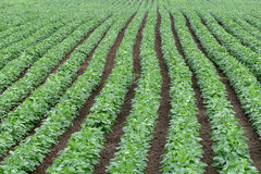 Green cultivated soy bean field in early summer stock images