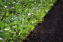 Green cultivated soybean field in late spring. Agriculture, green cultivated soybean plants in field, late spring or early summer, selective focus stock images