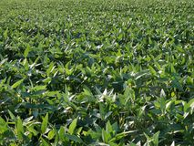 Green cultivated soybean field in late spring. Agriculture, green cultivated soy bean field in late spring or early summer, selective focus royalty free stock image