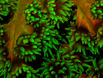 Green cup coral stock image