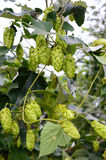 Green curling hop cones for beer production Royalty Free Stock Photo