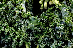 Green Curly Leaf Kale. Fresh bunch of organic curly leaf green kale Stock Photos