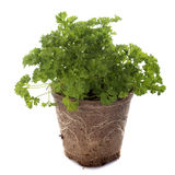 Green curly parsley Royalty Free Stock Photo