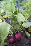 Green curly salad growing in the garden, growing. Healthy vegetarian food.  stock image