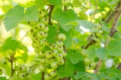 Green currant baking Stock Image