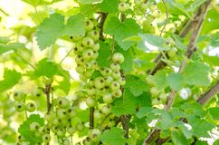 Green currant on a branch Stock Photos