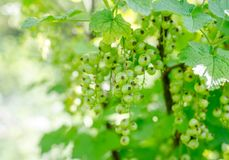Green currant on a branch Royalty Free Stock Photos