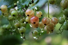 Green currant Royalty Free Stock Photos