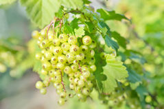 Green currant Royalty Free Stock Photo
