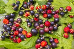 Green currant leaves, red ripe berries of strawberries and strawberries. Dark-violet berries of a currant on a white plate in the. Green currant leaves, red ripe stock photo