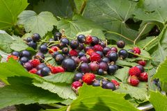 Green currant leaves, red ripe berries of strawberries and strawberries. Dark-violet berries of a currant on a white plate in the. Green currant leaves, red ripe royalty free stock images
