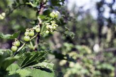 Green currant berries. Green currants in the garden, selective focus - some berries in focus, some are not stock photo