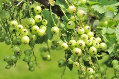 Green Currants Growing on Shrub Stock Photos