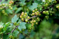 Green currants with shallow focus in sunny day. Ribes is a genus of about 150 species of flowering plants native throughout the temperate regions of the Northern stock photography