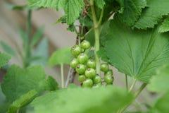 Unripe currants. Green currants Stock Photo