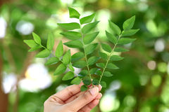 Green curry leaves Stock Images