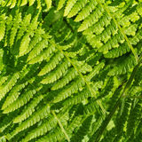 Green curved fern fonds Stock Images