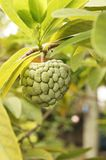 Green custard apple. Custard apple hanging from a tree branch Royalty Free Stock Photos
