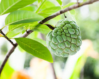 Green custard apple is growing Royalty Free Stock Image
