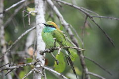 Green bee eater bird,Kingfisher. A little cute bird are standing on a branch royalty free stock photos