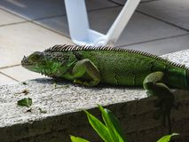 Green cute iguana sitting on the stone royalty free stock photos