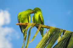 Green cute parrots stock photography